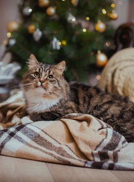 Christmas cat on blanket
